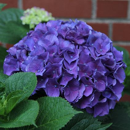 arbuste fleurs violettes liste ooreka. Black Bedroom Furniture Sets. Home Design Ideas