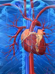 Modelisation coeur arteres
