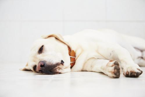 Intoxication du chien