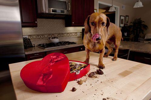Intoxications alimentaires du chien