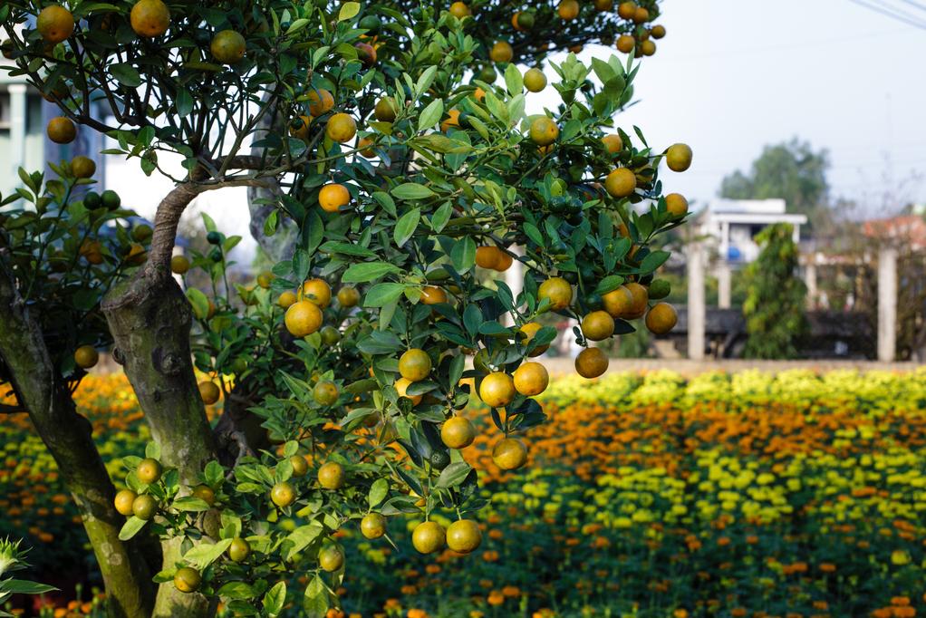 Les arbres fruitiers à tailler en juin
