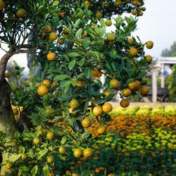 arbres fruitiers nains infos et prix des arbres fruitiers nains. Black Bedroom Furniture Sets. Home Design Ideas