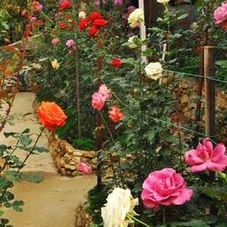 Puceron du rosier