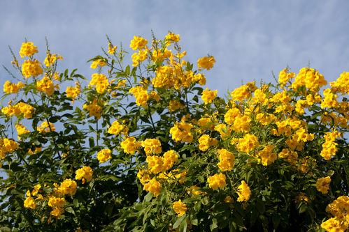 Superior arbuste a fleur jaune 9 la floraison printaniere des arbres arbuste fleurs jaunes - Arbuste floraison printaniere jaune ...