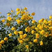 Arbuste A Fleurs Jaunes Liste Ooreka