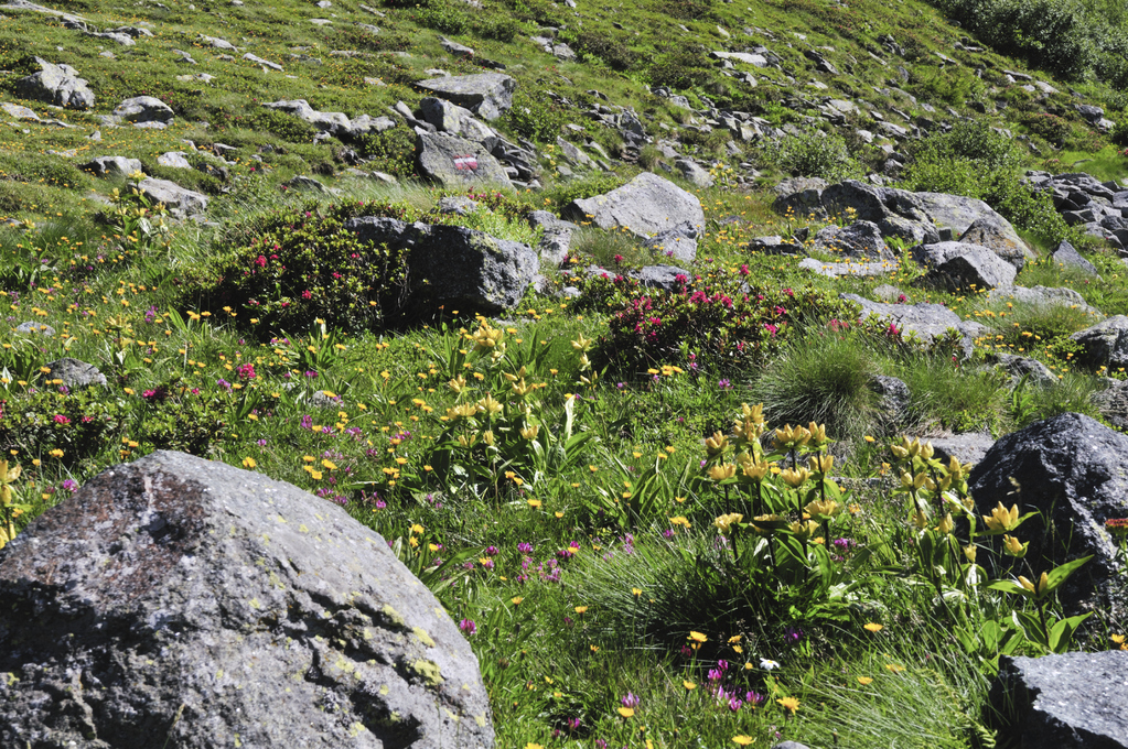 Les fleurs de rocaille