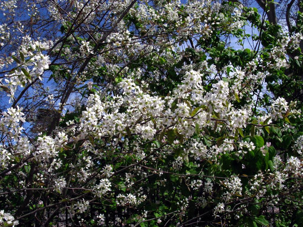 Arbuste Fleuri Feuillage Persistant quels arbustes fleurissent en mai ?