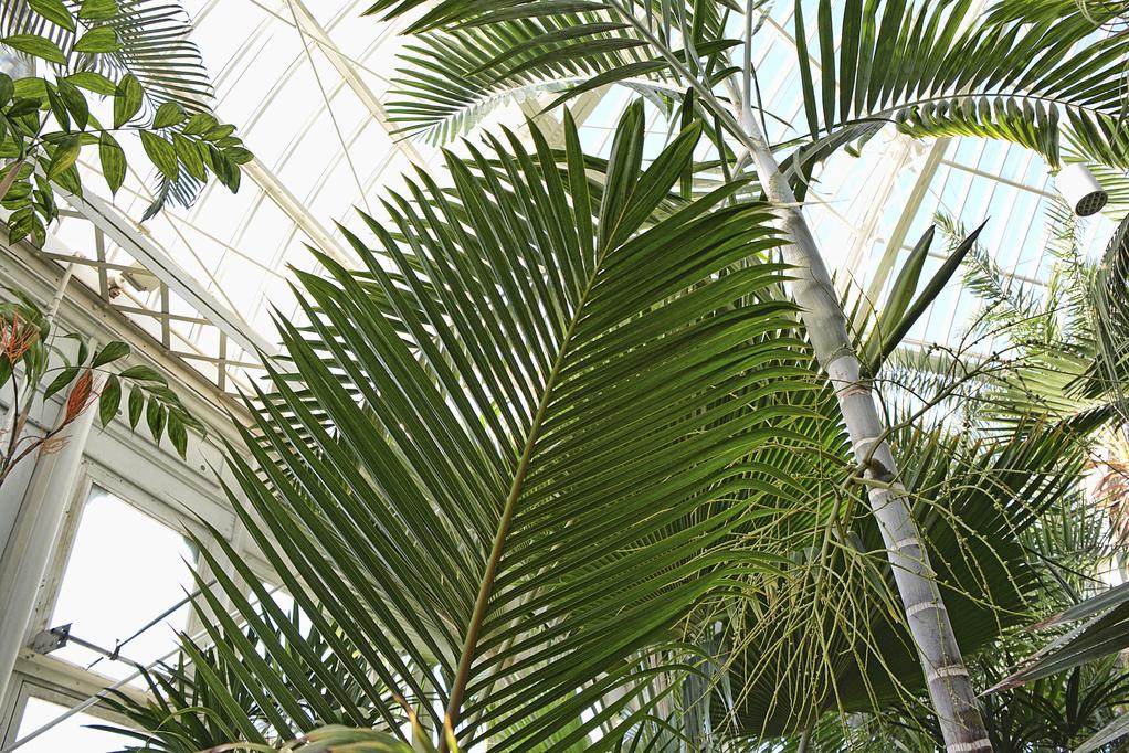 palmier kentia exterieur