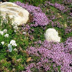 Les plantes anti-moustiques
