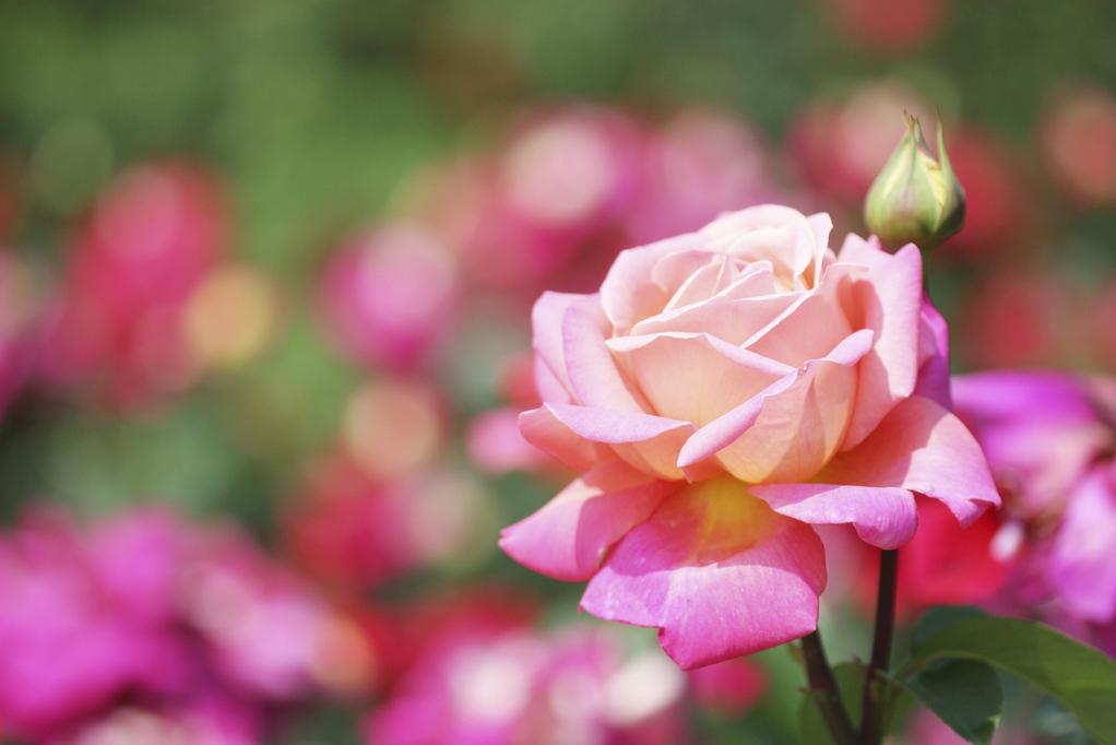10 variétés de roses au nom de star du 7e Art !