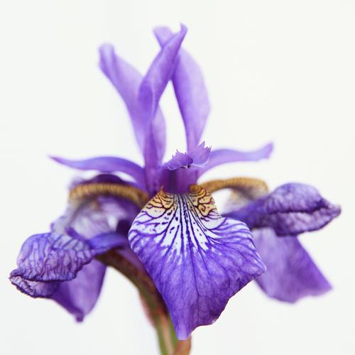 Langage des fleurs 10 plantes pour s 39 exprimer ooreka - Langage des fleurs iris ...