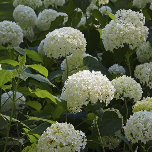 Composer un jardin blanc ooreka for Composer son jardin