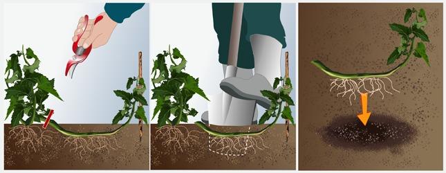 Séparez la marcotte de son plant mère