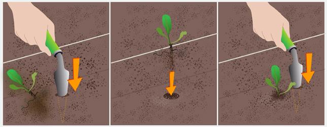 Transplantez le premier plant