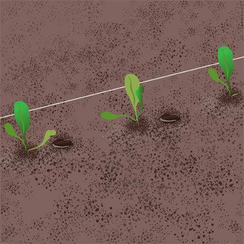 Transplantez les plants suivants