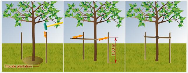 Tuteurer un arbre jardinage - Comment planter un cerisier ...