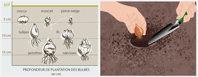 Planter arracher et conserver des bulbes jardinage for Planter un bulbe amaryllis