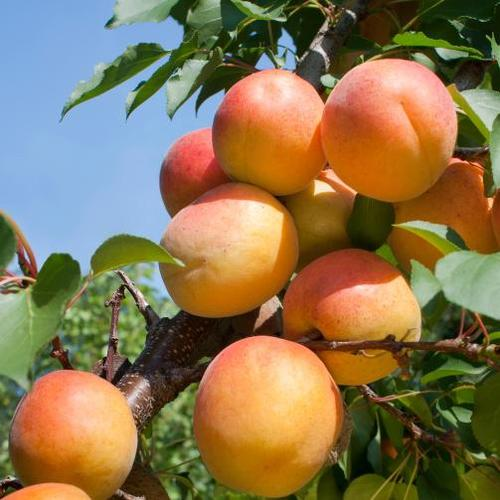 Planter un noyau d'abricot