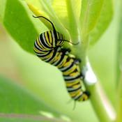Comment lutter contre la chenille d foliatrice - Lutter contre les chenilles ...
