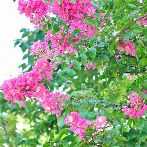 Fleur vivace liste ooreka - Lilas des indes racines ...