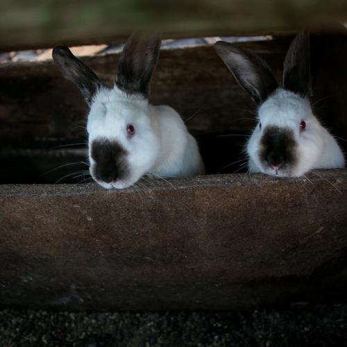 famille d 39 accueil 2 lapins blancs onvasortir le mans. Black Bedroom Furniture Sets. Home Design Ideas