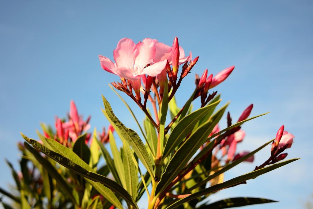 Engrais laurier rose crit res de choix et prix ooreka - Engrais pour laurier rose ...