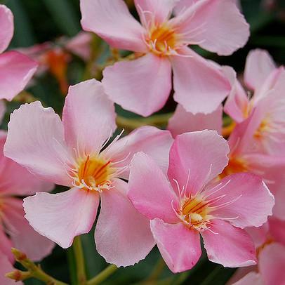 Plante rose liste ooreka - Plante a fleurs roses ...