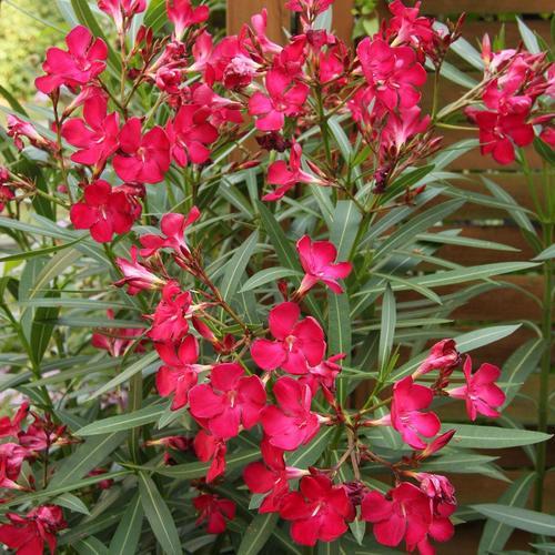 arbuste vivace : liste - ooreka