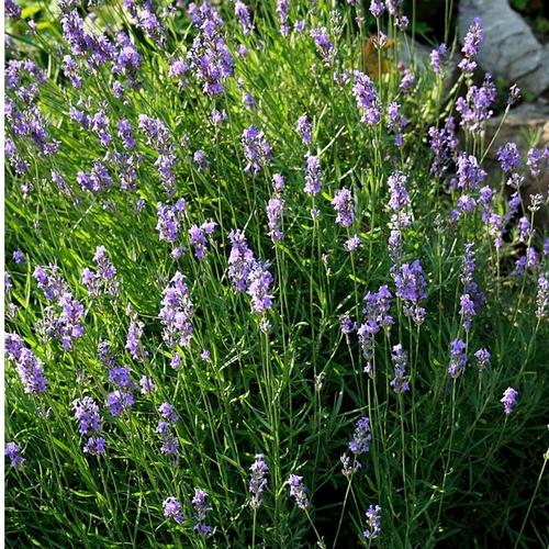 Plante bleue liste ooreka - Floraison de la lavande ...