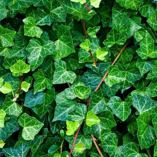 plante grimpante qui perd pas ses feuilles
