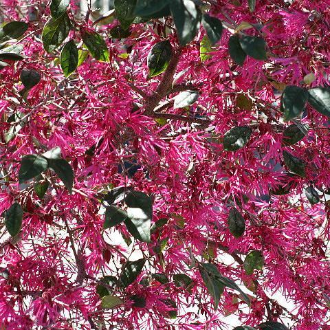 quels arbustes fleurissent en mars ?