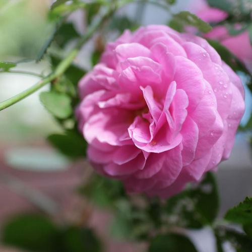 Roses anciennes liste ooreka - Rouille rosier traitement naturel ...