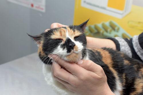 Lymphome du chat