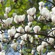 Elaeagnus angustifolia planter et entretenir ooreka - Traitement olivier bouillie bordelaise ...