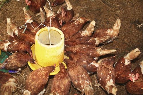 Mangeoire poule conseils et prix d 39 un abreuvoir poule for Prix d une poule rousse