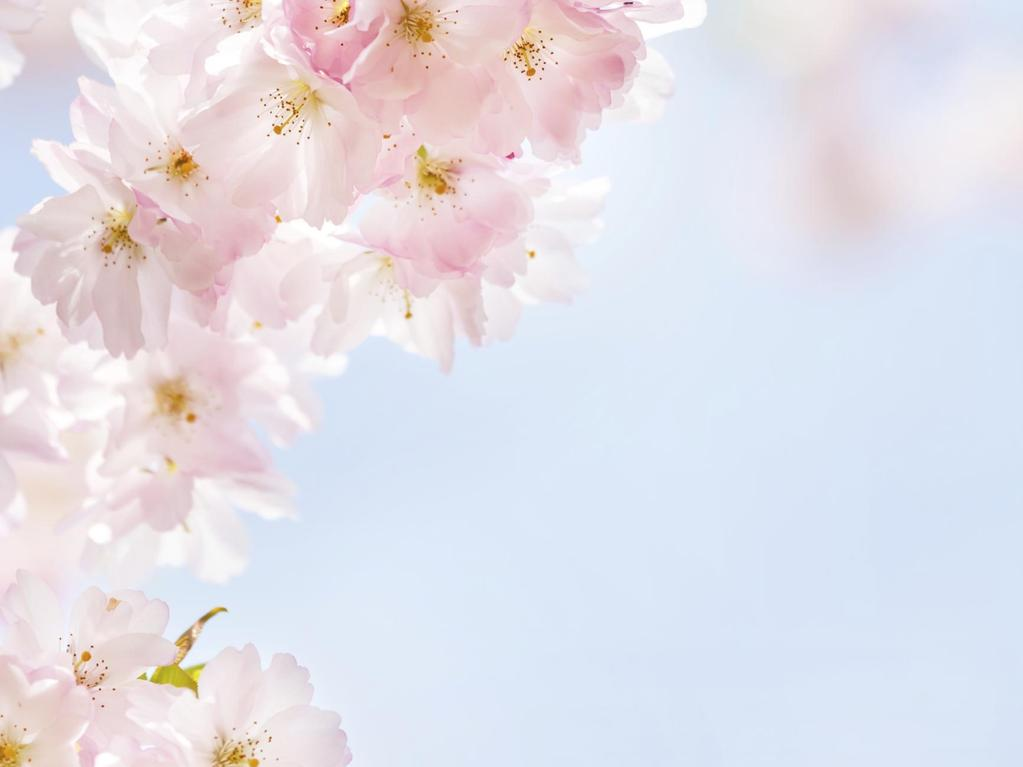 Fleurs de cerisier symbole et tradition ooreka - Cerisier en fleur dessin ...