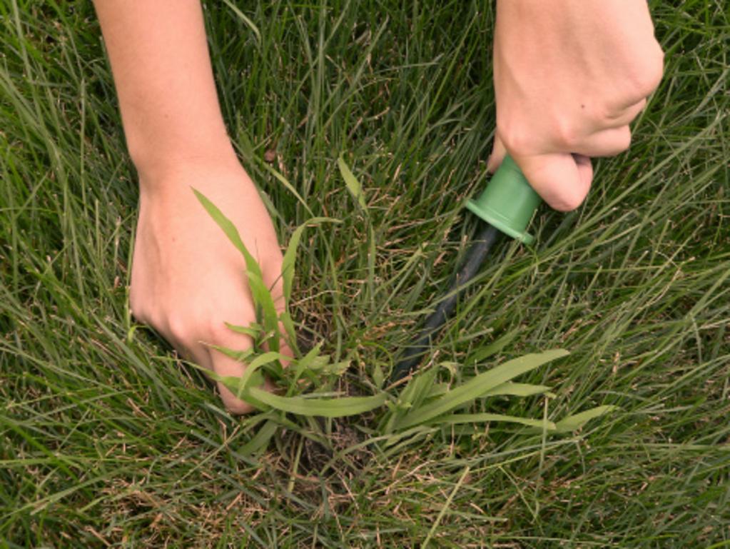 Mauvaises herbes du gazon