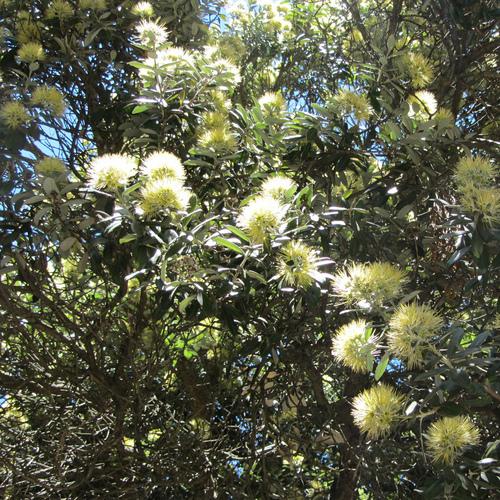 Arbre qui fleurit en hiver liste ooreka - Fleurs qui fleurissent en hiver ...