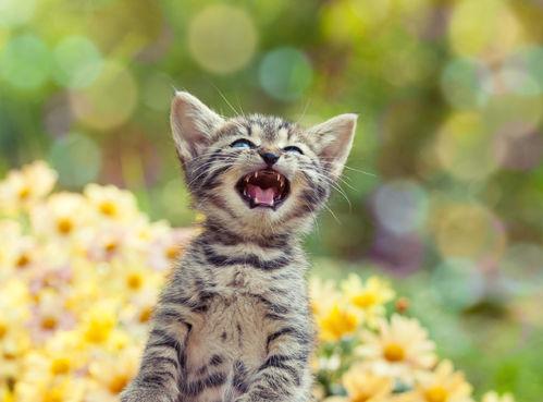Miaulement du chat