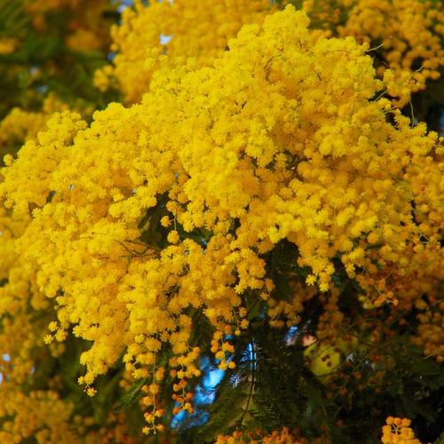Arbuste floraison hivernale liste ooreka - Couper les feuilles en fin de floraison ...