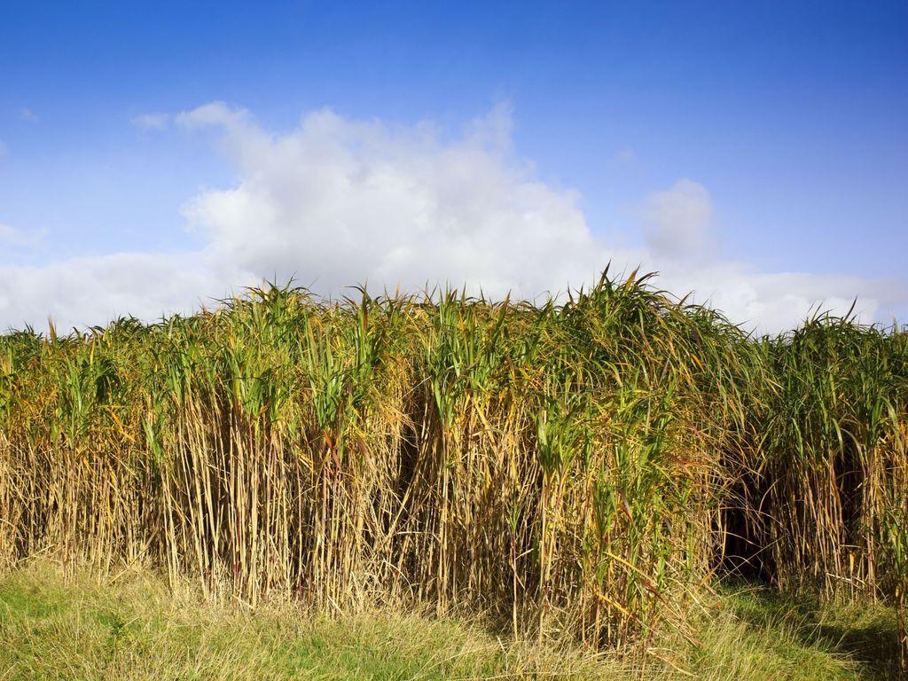 Paillis de miscanthus utilisation et prix du miscanthus - Paillis de lin ...