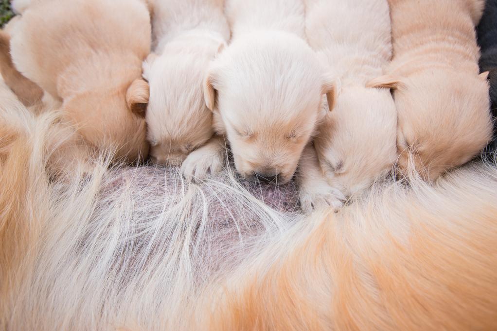 Consanguinité entre chiens