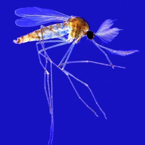 La bactérie anti-moustique