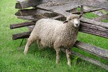 poux du mouton traitements ooreka. Black Bedroom Furniture Sets. Home Design Ideas
