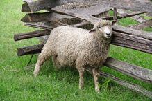 Mouton gratte tete barriere