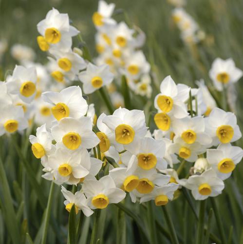 Plante bulbe liste ooreka - Quand couper les fleurs fanees des hortensias ...