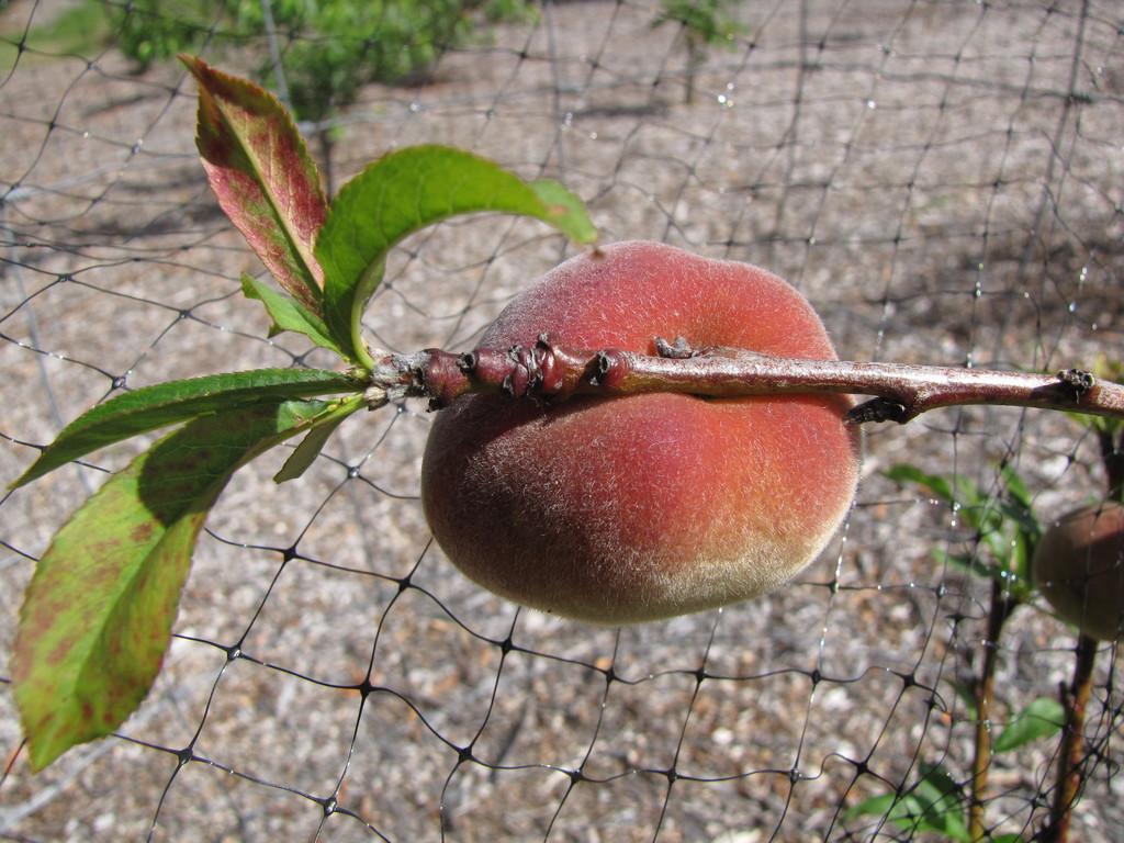 Nectarinier Mesembrine