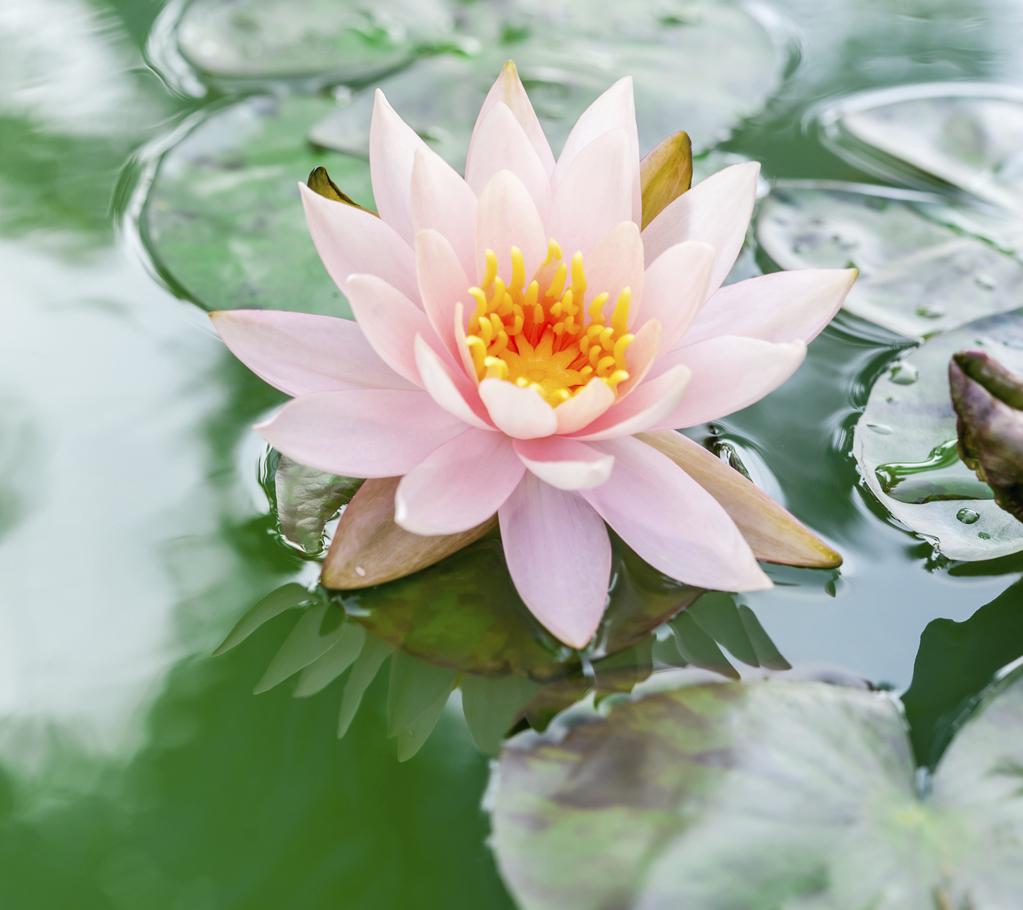 Vertus du lotus propri t s sant ooreka - Fleur de lotus symbole ...