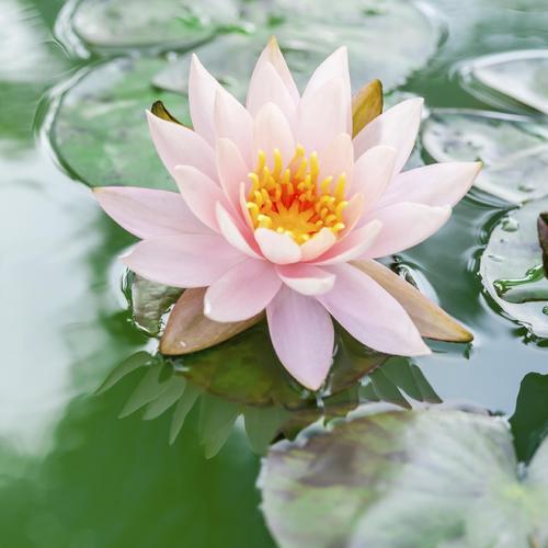 Quelles sont les fleurs planter au printemps ooreka - Image fleur de lotus ...