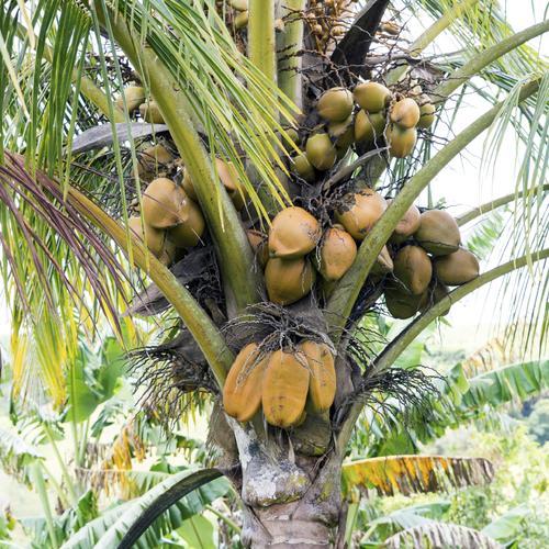 Quels sont les arbres planter au printemps ooreka - Arbre noix de coco ...